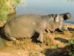 Trophy Hippo