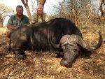 Trophy Cape Buffalo